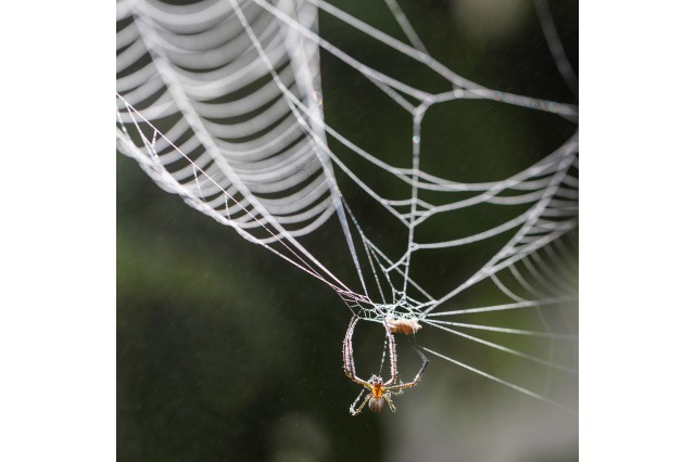 A spider hanging upside down from the center of its web