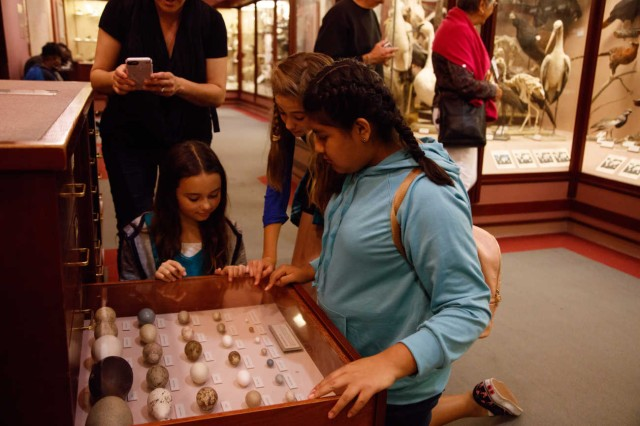 Three girls looking at bird eggs inside a drawer adult takes photo