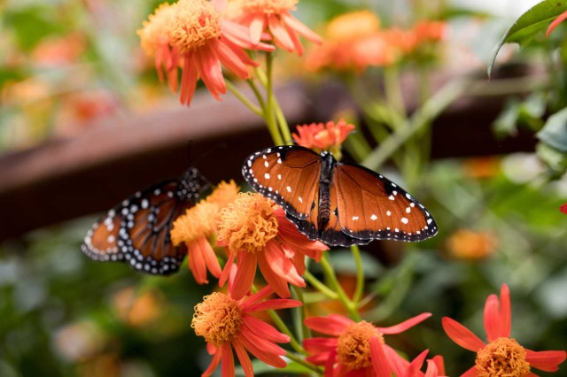Two orange butterflies resting on orange flowers