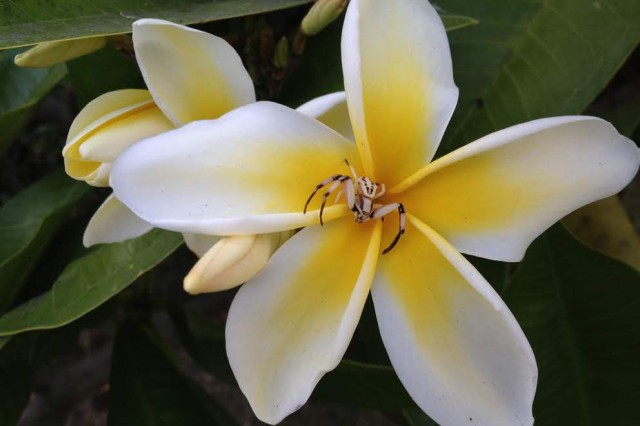 A crab spider sits in the middle of a frangipani