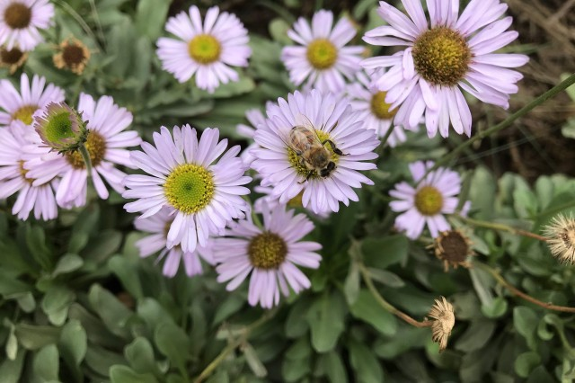 California native bees on purple seaside daisies
