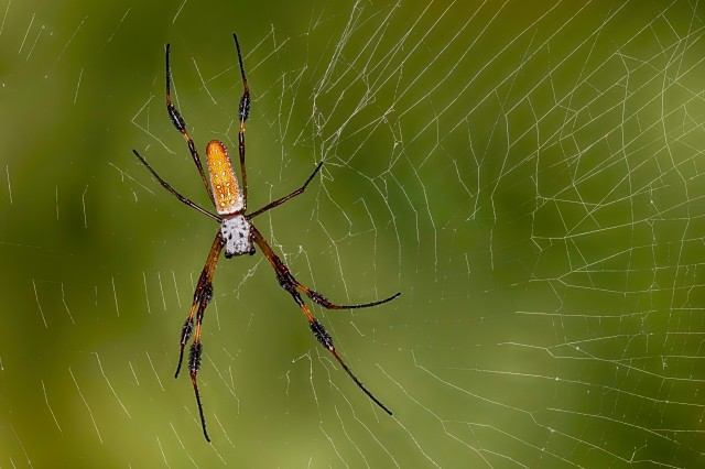 Golden Silk Spider in its web against a green background of foliage