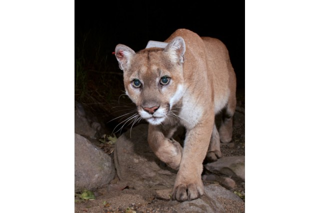 Close up photo of P-22, a mountain lion