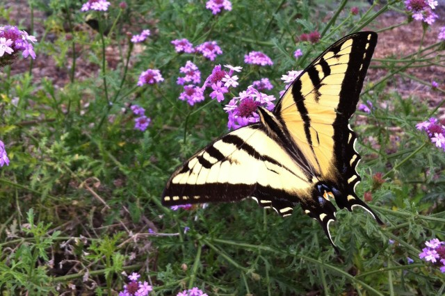A swallowtail butterfly on purple verbena