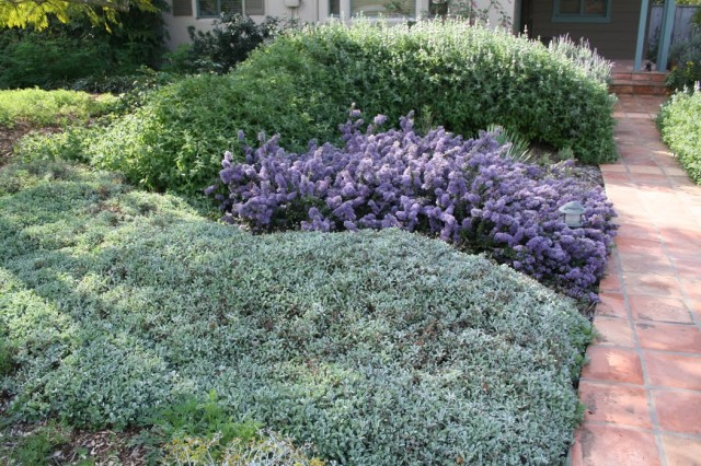 Aster, ceanothus, and sage bushes create purple and green heding