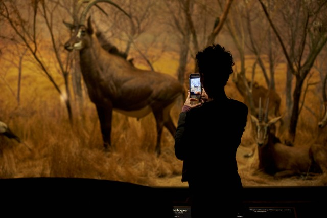Person taking a picture of sable antelope diorama