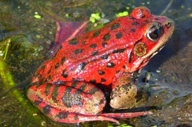 Red-legged frog sitting in shallow water
