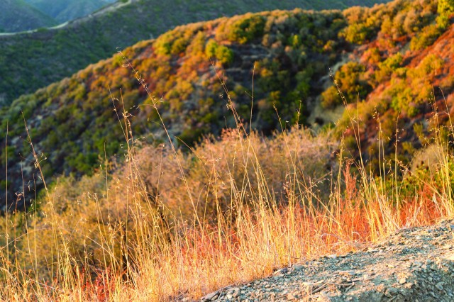 Dried invasive grasses cover parts of the Santa Monica Mountains in Southern California.