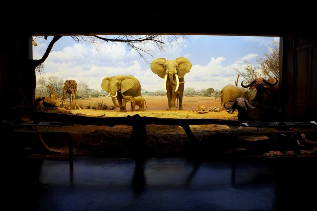 The African elephant diorama