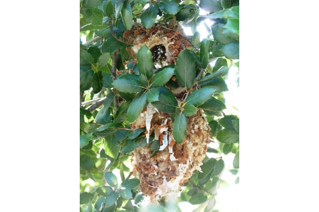A brown bushtit nest in a coast live oak tree