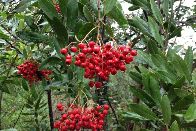 Toyon berries in the rain