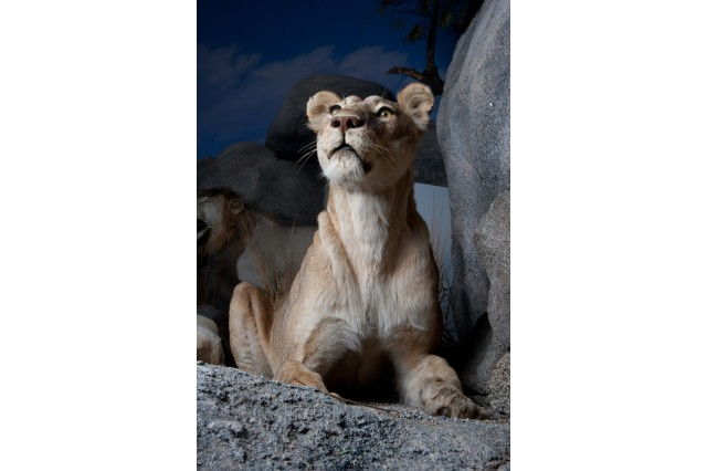 Up close photo of a taxidermy lioness, seated