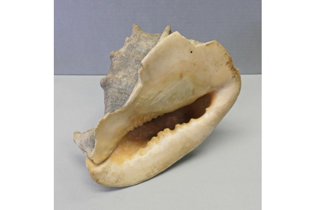 Conch Shell Horn From Rongerik Atoll