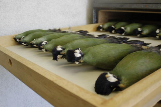Turaco specimens in a drawer in the bird collection.