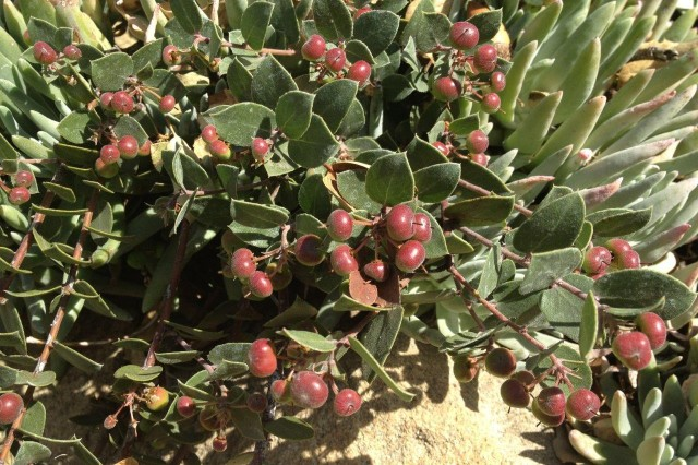 Manzanita fruits