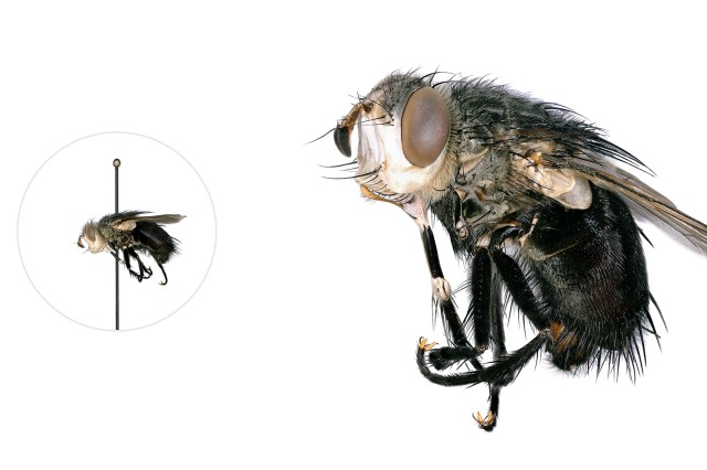 Tachinid fly microscopic image with a life-size pinned specimen on the left