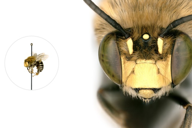 Digger bee microscopic image with a life-size pinned specimen on the left