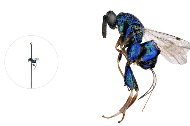 Torymid wasp microscopic image with a life-size pinned specimen on the left