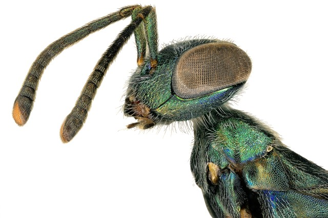 "Insect with long, segmented antennas, Clearly defined ""neck"""
