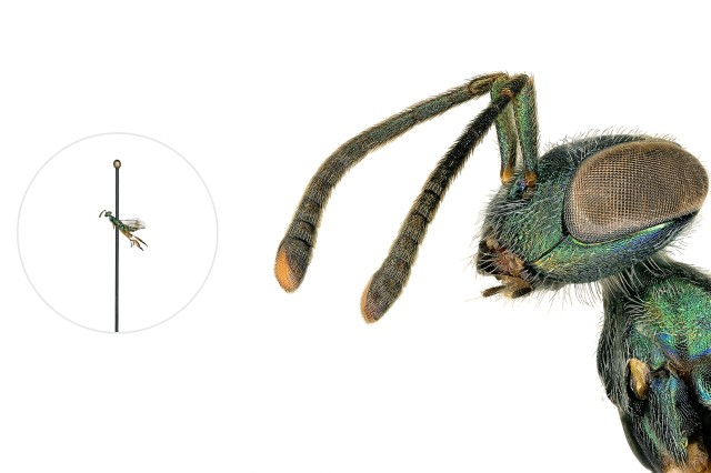 Eupelmid Wasp microscopic image with a life-size pinned specimen on the left