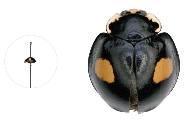 Halloween ladybug microscopic image with a life-size pinned specimen on the left