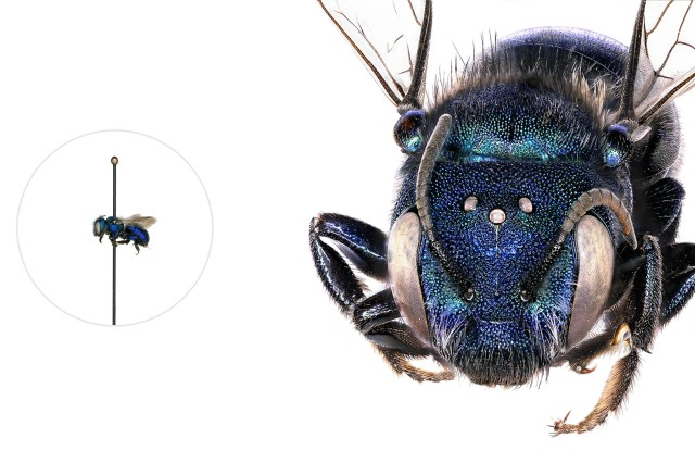 Mason Bee microscopic image with a life-size pinned specimen on the left