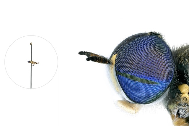 Soldier Fly microscopic image with a life-size pinned specimen on the left