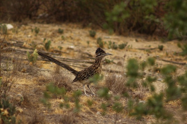 greater road runner © kmaccormick