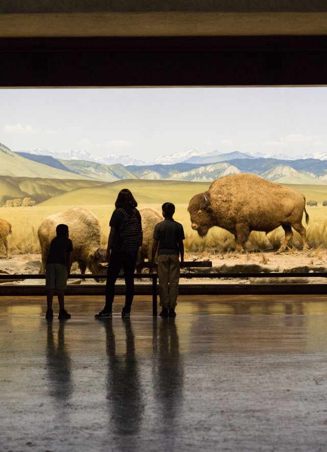 Photograph of a family looking at the bison display in the North American Mammals exhibit
