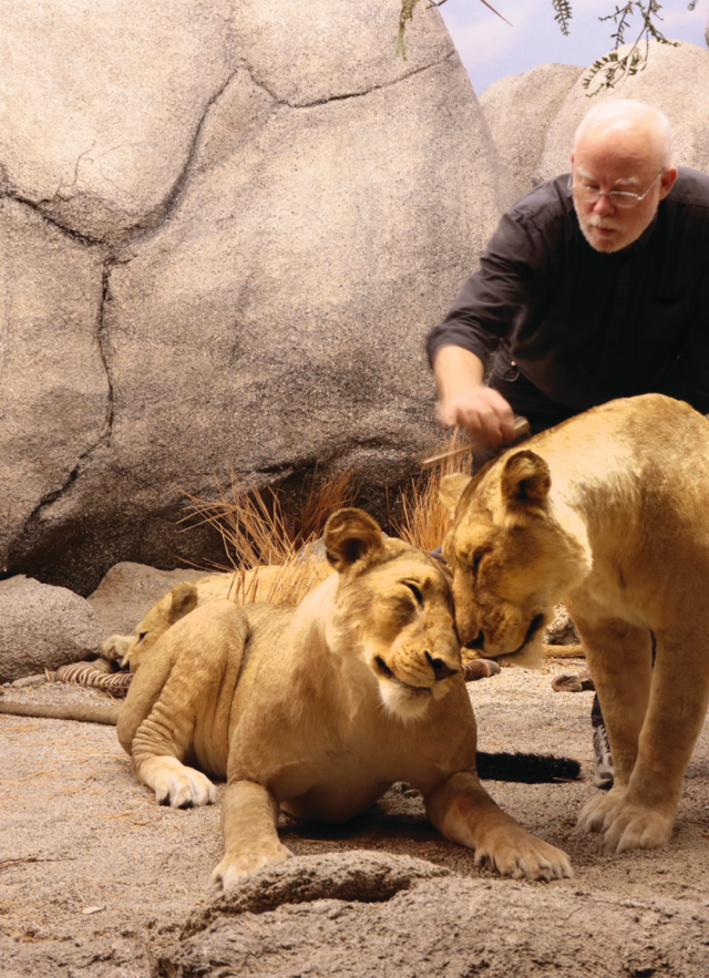 NHMLA taxidermist Tim Bovard with a pair of lionesses nuzzling in the African Mammal Hall.