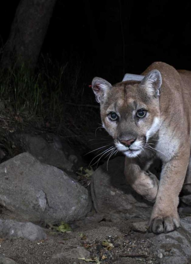 image of puma in the dark