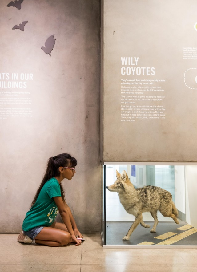 Girl looks at coyote display