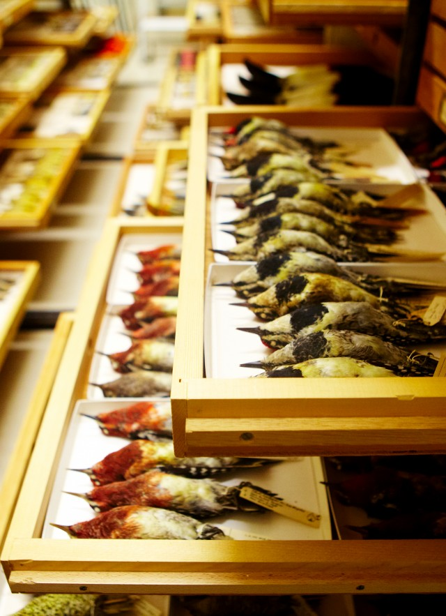 ornithology birds collections drawer research and collections