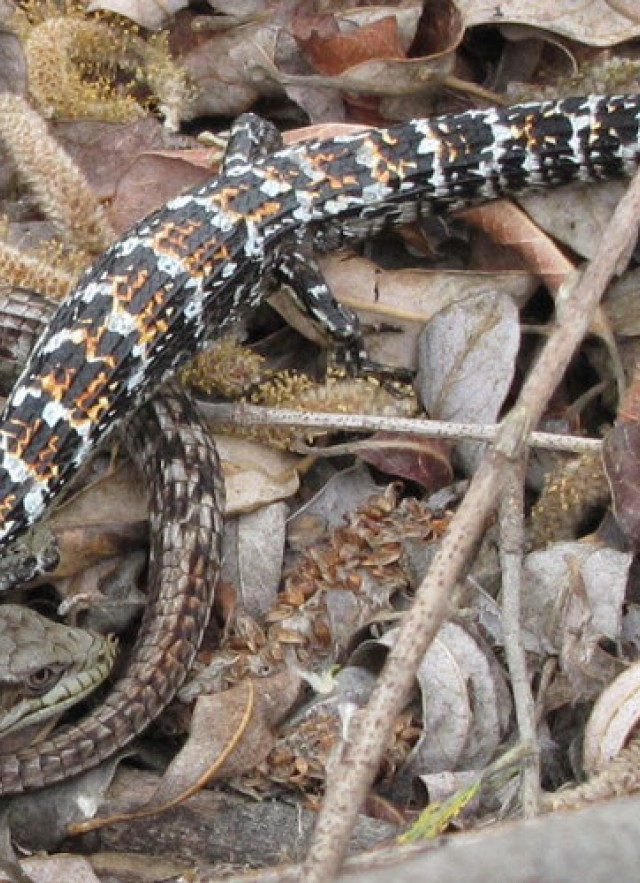 Alligator lizard courtship