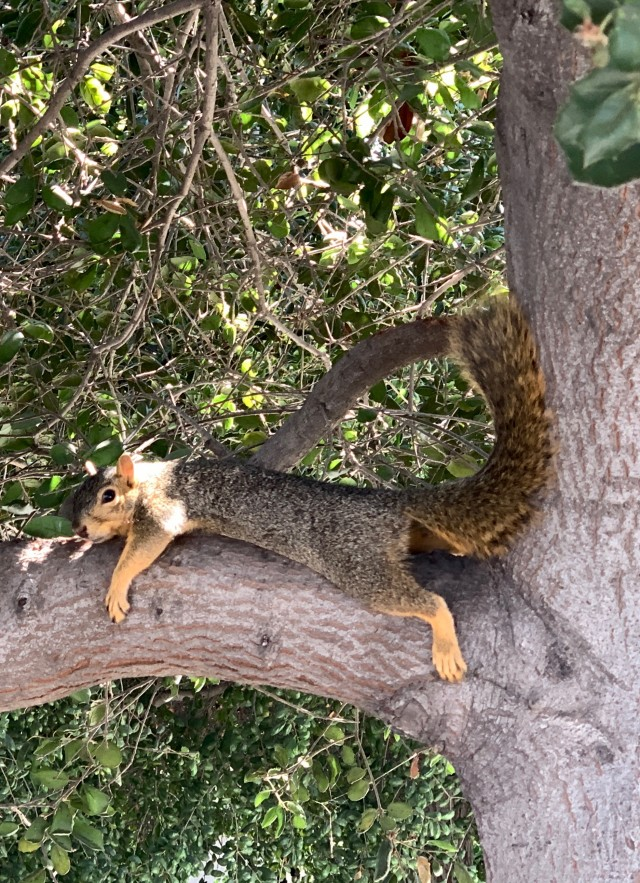 Fox squirrel, laying on ground by a tree.