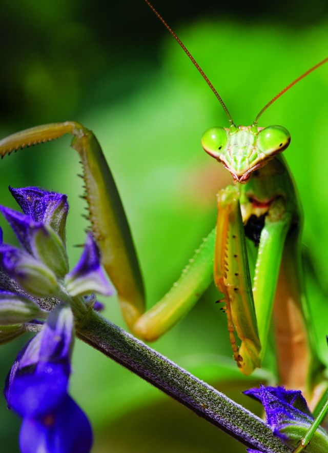 Photo of mantis on leaf branch