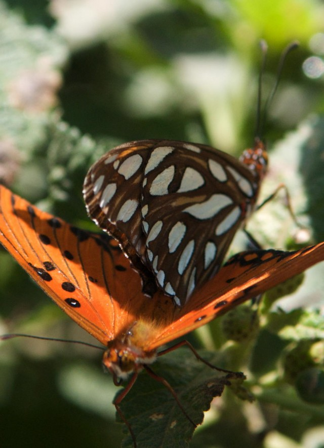 Gulf Fritillary butterflies, one with wings open and another with wings closed.