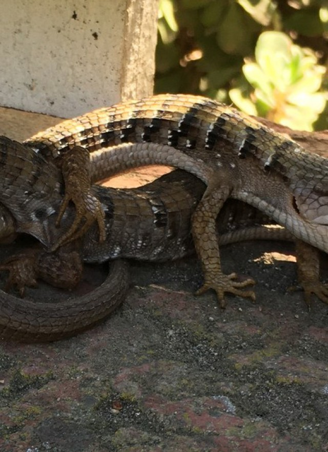 Alligator lizard coitus 2021 by iNat user James