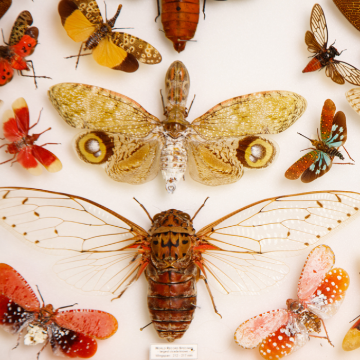 Photograph of Butterfly specimens in the NHM collection