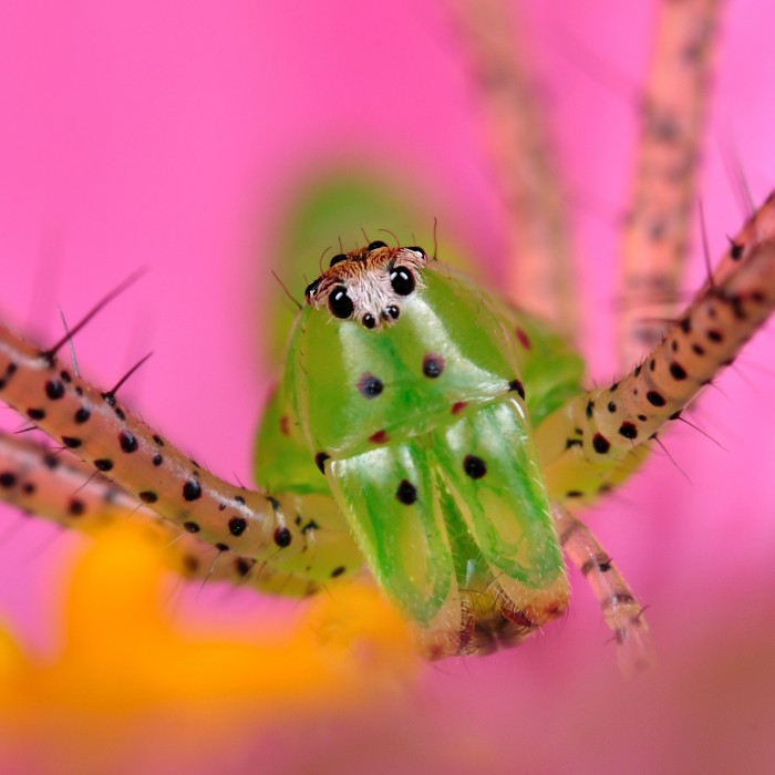 A really close up portrait of a beautiful green Lynx Spider against a pink background
