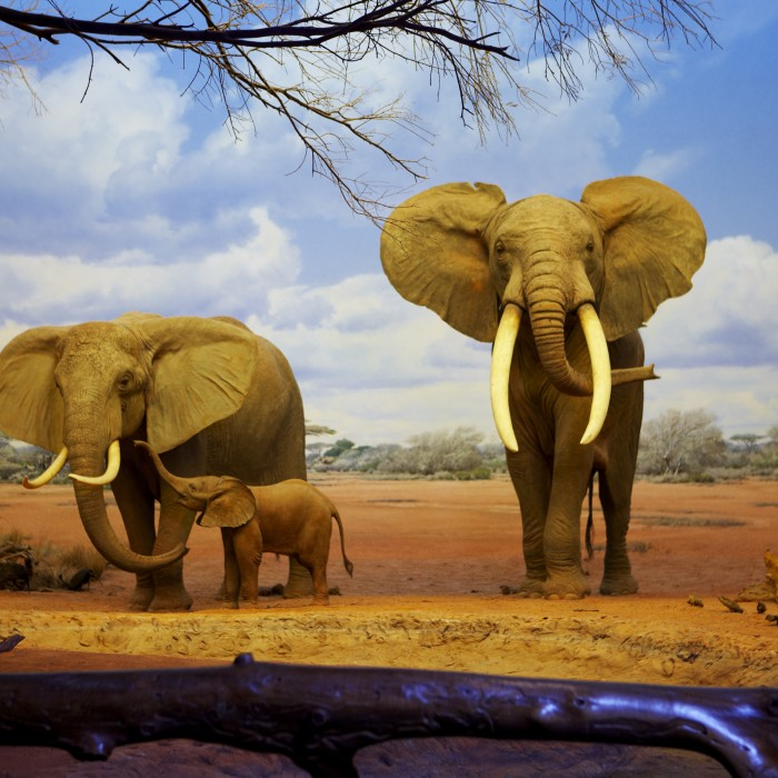 elephants in the african mammal hall