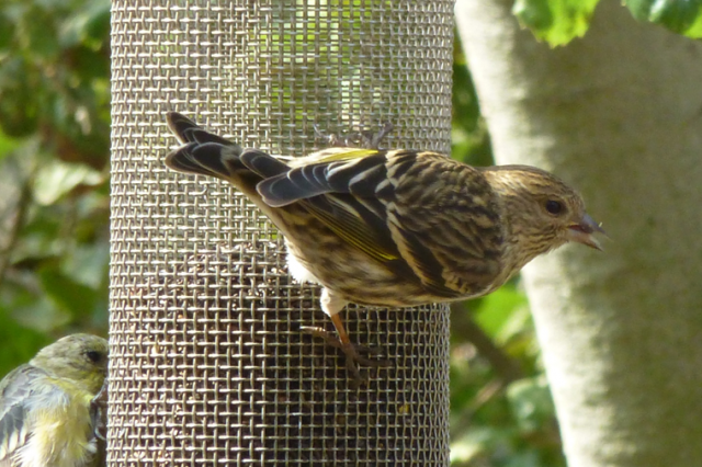A close-up view of a pine siskin eating from a bird feeder