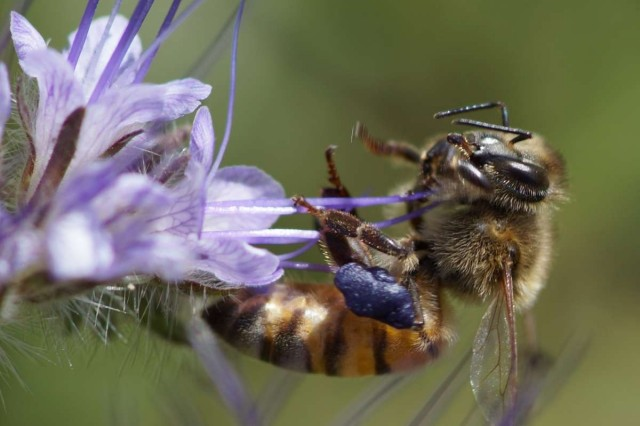 Phacelia bee on purple flower