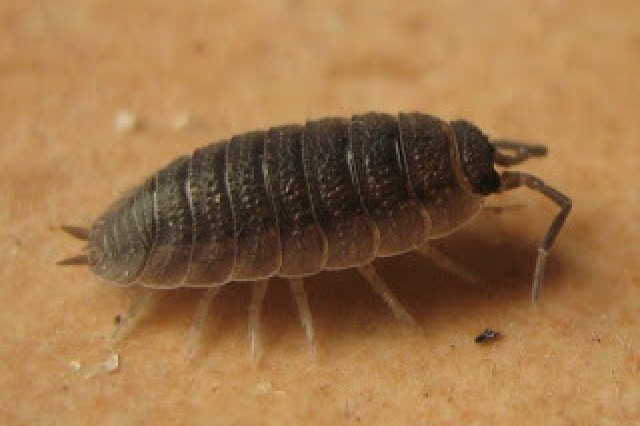 Common Rough Woodlouse, Porcellio scaber
