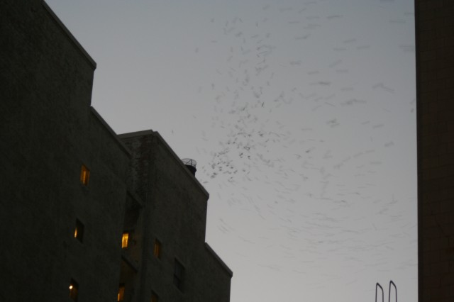 Vaux's Swifts using communal roosting site in Downtown Los Angeles.