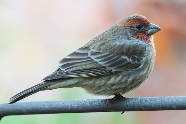 bird, birding, ornithology, finches