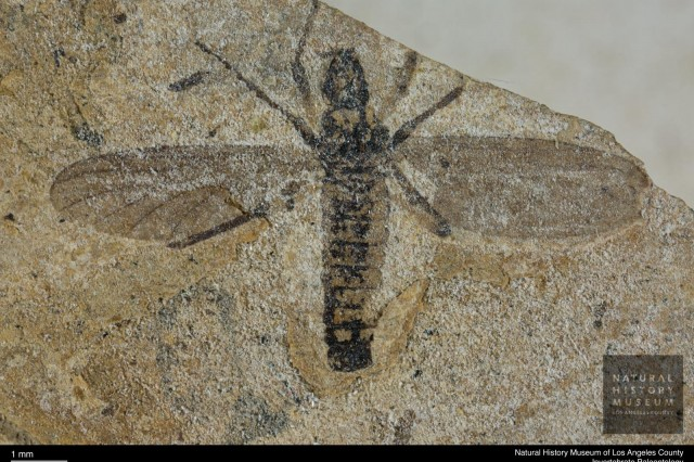 Insect fossilized with wings, legs, and other parts clearly visible