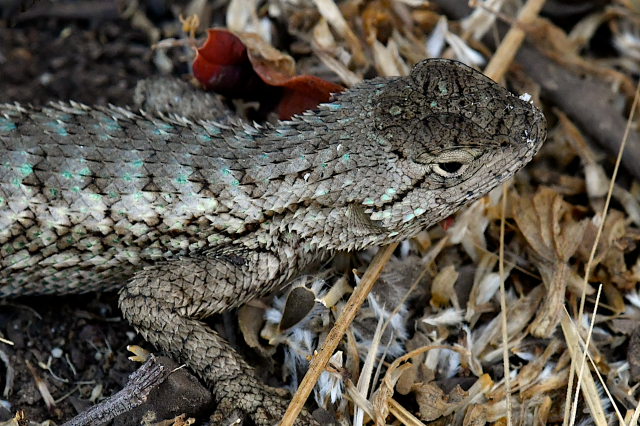 western fence lizard dorsal view