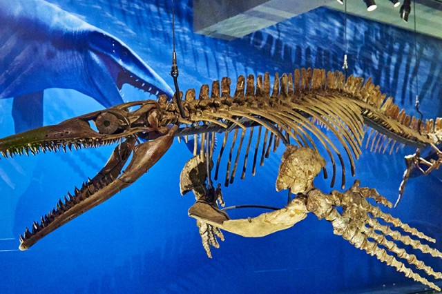 mosasaur skeleton in dinosaur hall