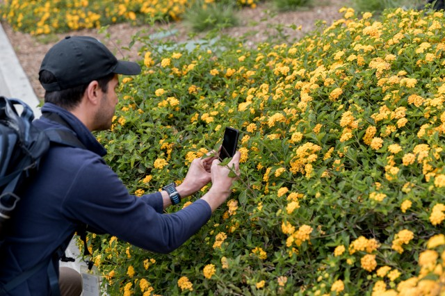person takes a close up picture with a phone of a patch of yellow flowers